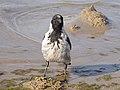 Corvus cornix Curonian Spit 03.jpg