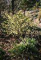 Corylopsis-spicata-habit.JPG