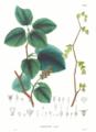 Corylopsis spicata SZ19.png