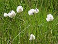 Cotton Grass - Flickr - gailhampshire.jpg