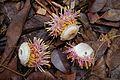 Couroupita guianensis partie de fleur.jpg