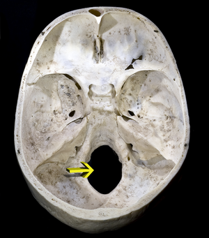 Foramen magnum - Upper surface of base of the skull. The hole indicated by an arrow is the foramen magnum