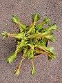 Crassula capitella subsp. thyrsiflora 'Red Pagoda' - Flickr - hortulus.jpg