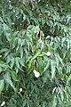 Crateva religiosa - Sacred Garlic Pear - at Chooliyad 2014 (1).jpg
