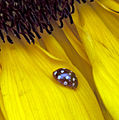 Cream-spot Ladybird on Sunflower (3889181029).jpg