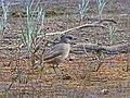Crested Bellbird (28105965682).jpg