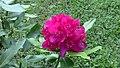 Crimson Rhododendron (8397936965).jpg