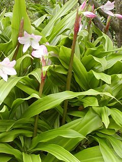 Crinum moorei whole.jpg