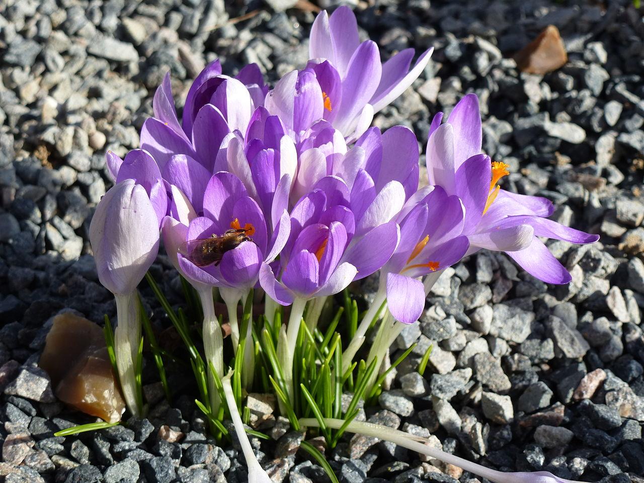 File crocus tommassinianus au jardin des plantes jpg for Au jardin des malentendus