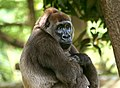 Cross-river-gorilla.jpg