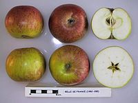 Cross section of Belle de France, National Fruit Collection (acc. 1982-285).jpg