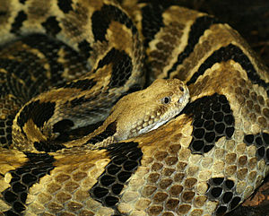Rattlesnake - Timber rattlesnake (Crotalus horridus) with clearly visible facial pits