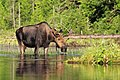 Crow River Moose at Sunset.jpg