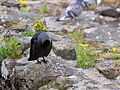 Crow preening (7827248400).jpg