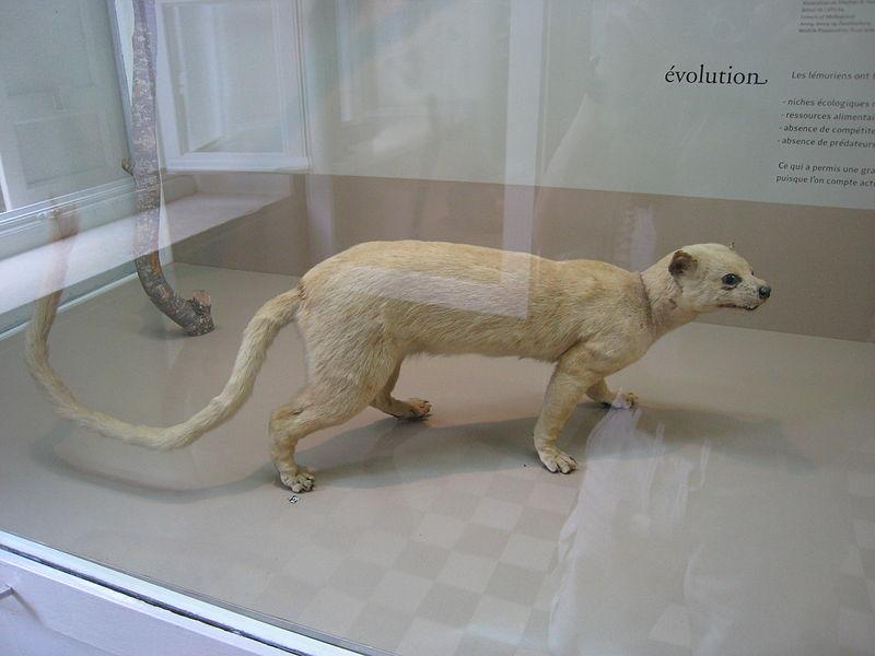Cryptoprocta ferox  naturalisé au Muséum d'histoire naturelle de La Réunion de Saint-Denis