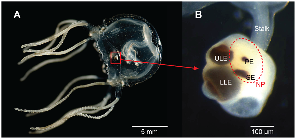 The visual system of the cubozoan