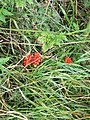 Cuckoo-pint (Arum maculatum) - geograph.org.uk - 1451191.jpg