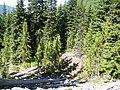 Cupressus nootkatensis Crystal Peak Trail.jpg