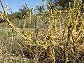 Cuscuta campestris + Cichorium intybus sl2.jpg