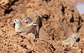Cut-throat finch, Amadina fasciata at Mapungubwe National Park, Limpopo, South Africa (album includes copulating pair) (17679217980).jpg