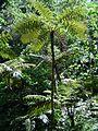 Cyathea manniana00.jpg