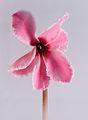 Cyclamen flower.jpg