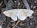 Cyclophora punctaria (Maiden's Blush), Swalmen, the Netherlands.jpg