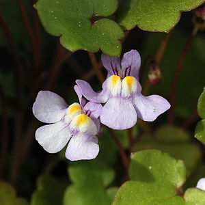 Cymbalaria muralis close up.jpg
