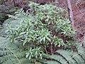 Cymopolia barbata (L.) J.V.Lamour. (AM AK238843-2).jpg
