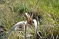 Cyperus ustulatus kz01.jpg