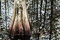 Cypress (231184355).jpeg