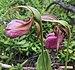 Cypripedium acaule - Henvey Inlet.jpg