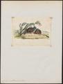 Cyrtonyx ocellatus - 1820-1863 - Print - Iconographia Zoologica - Special Collections University of Amsterdam - UBA01 IZ17100215.tif