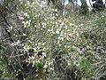 Cytisus filipes kz2.JPG