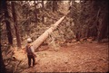 D.JACKSON FELLING RED FIR TREE - NARA - 542771.tif