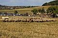 DSC02452 Gemischte Herde - Rhönschaf, Coburger Fuchs, Kamerunschaf, Ziegen und ein Esel mit Schäfer.jpg