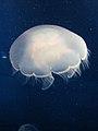 """DSC24229, Moon Jelly (""""Aurelia Aurita""""), Monterey Bay Aquarium, Monterey, California, USA (5994307026).jpg"""