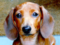 Dachshund miniature, red-haired.png