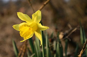 English: Daffodil Daffodil.
