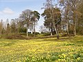 Daffodils Carpet, Main Valley - geograph.org.uk - 1801369.jpg