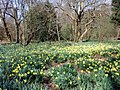 Daffodils in Trent Park, London N14 - geograph.org.uk - 1805619.jpg