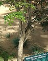 Dalbergia melanoxylon - Arusha gardens 2.jpg