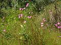 Dalias lilas en el Parque Ecológico de la Ciudad de México.JPG