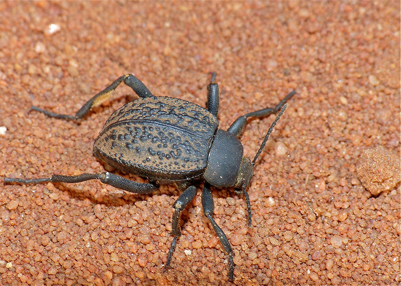 Darkling beetle size - photo#20
