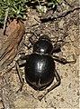 Darkling beetle (Tenebrionidae) (6227487427).jpg