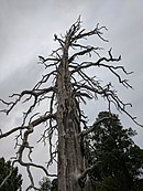 Dead tree at fools hollow lake.jpg