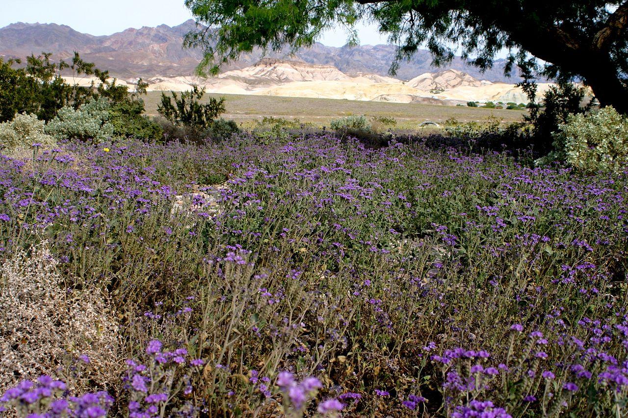 File Death valley flowers 2 Wikimedia mons