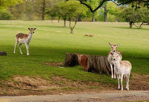 Deer in Knole Park, Sevenoaks, Kent - geograph.org.uk - 1864842