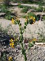 Desert fiddleneck (Amsinckia tessellata); Pinto Basin.jpg