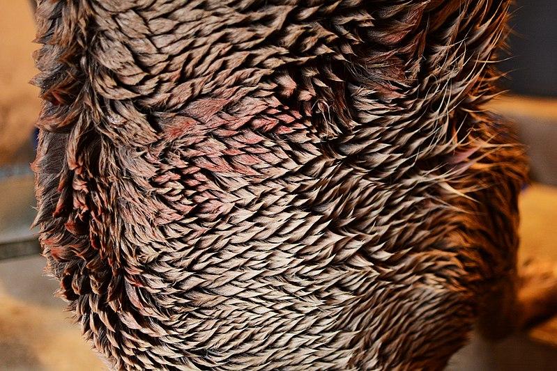 File:Detail of a caribou hide. Adak Island, Alaska (16640950576).jpg